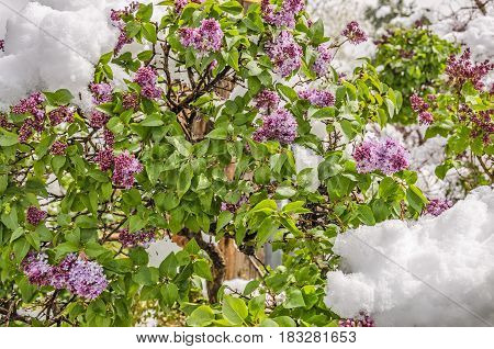 Lilacs in a hurry to bloom are hit with a heavy wet snow in early April