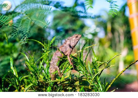 Thai native lizard or chameleon on tree
