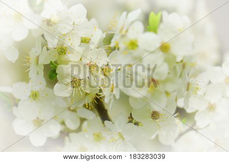 Spring flowers of cherry blossom