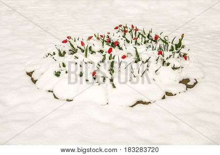 Red tulips partially buried under a heavy wet spring snow