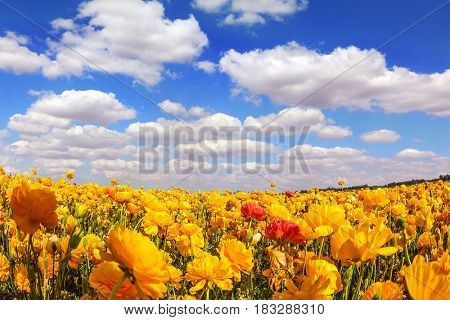 Concept of rural tourism and agrotourism. The magnificent blossoming fields of garden buttercups. Fluffy clouds over the floral splendor