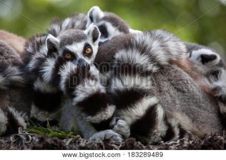 Ring-tailed lemur (Lemur catta). Wildlife animal.