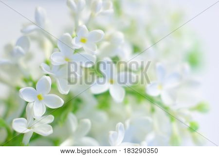 White spring flower love romantic background. Blooming delicate flowers. Clean springtime petals. Gentle vibrant fresh blossom. Bright positive inspirational backdrop.