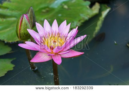 This beautiful waterlily or lotus flower plants in pond.