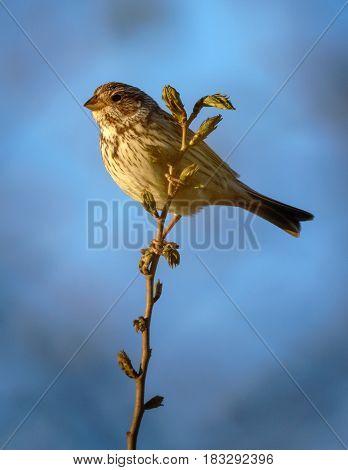 Corn bunting bird (Miliaria calandra) perched on a twig