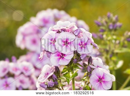 Phlox blooms back lit by evening sun with green garden background