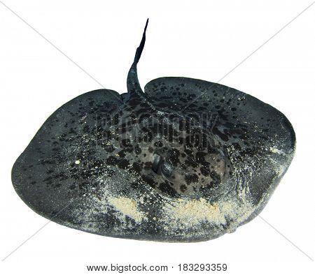 Stingray isolated on white background. Marbled Ray