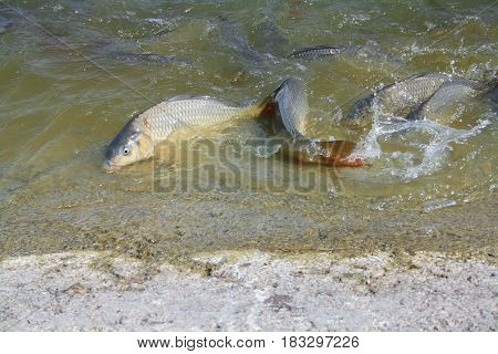 The carp is an adaptable large, freshwater fish