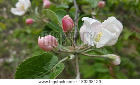 Spring background with white apple flowers on a tree branch