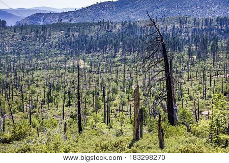 Burned Down Forest In The Yosemite National Park
