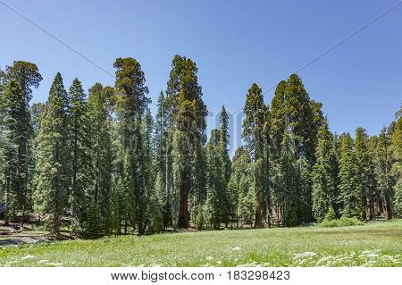 huge sequoia trees in sequoia national park