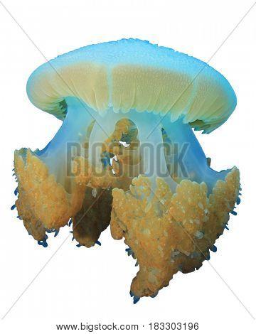 Jellyfish isolated white background
