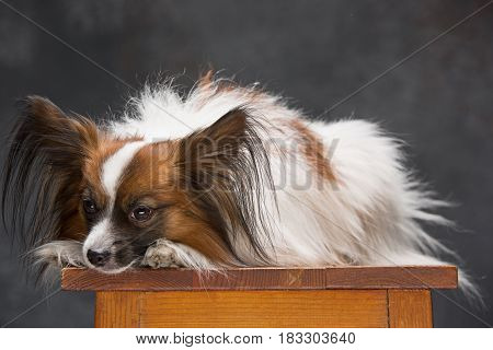 Studio portrait of a small yawning puppy Papillon on gray background