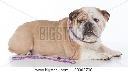 bulldog licking lips on white background