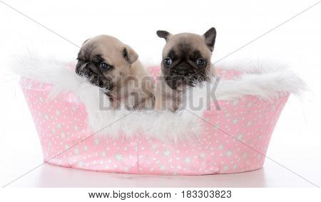 french bulldog litter mates in a dog bed on white background