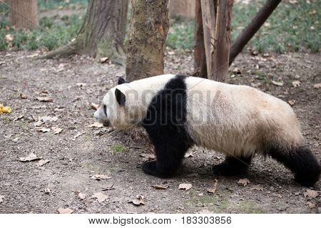 giant panda in chengdu wild zoo