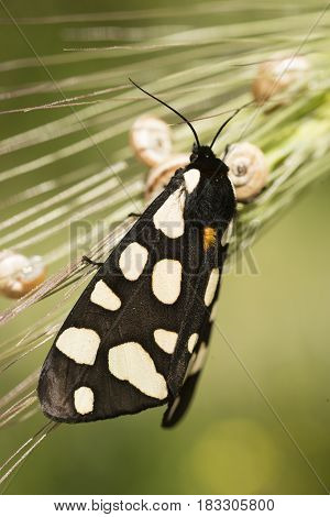 Female cream-spot tiger moth perched on green grass in midday sun.