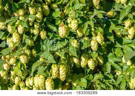 Nature background of the green hop bush
