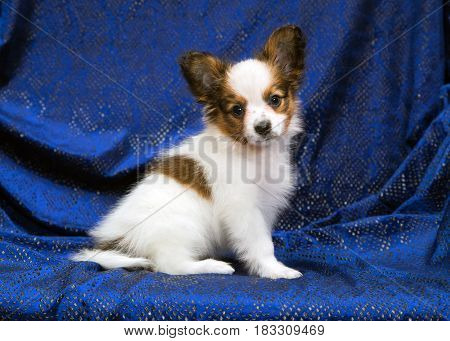 Cute puppy of the Papillon or Continental Toy spaniel on a blue background