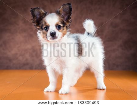 Cute puppy of the Papillon or Continental Toy spaniel on a brown background
