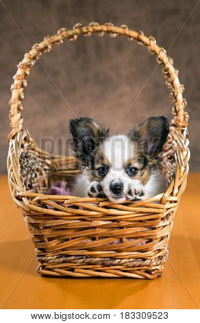 Cute puppy of the Papillon or Continental Toy spaniel in a wicker basket on a brown background