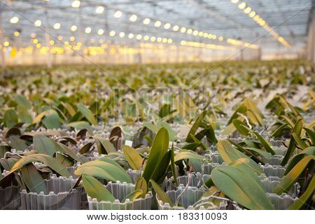 Young orchid plants in huge glass house