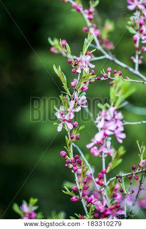 Blooming dwarf almond tree in garden, spring time