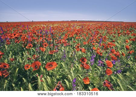 Plain red poppy field. Nature floral background