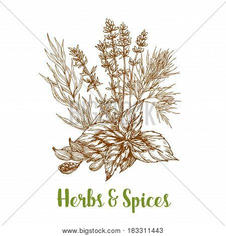 Herbs and spices sketch of basil, thyme, tarragon or rosemary and cardamom, savory and mint. Herbal spicy culinary condiments or aroma flavoring plants for grocery store, market or product pack design