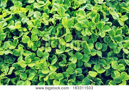 Green background with three-leaved shamrocks. Shallow depth of field, focus on near leaf.
