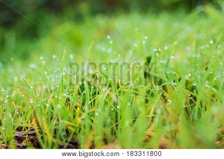 water drops on the green grass. Fresh grass with dew drops close up