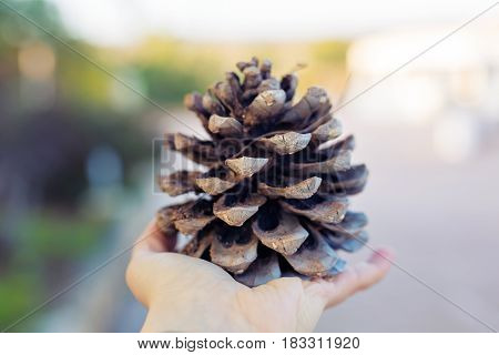 Drown Pine cone in the hand on sunlight