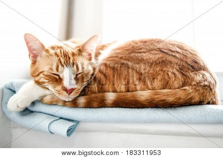 Red domestic cat sleeping at home, Poland