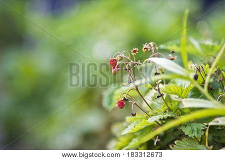 Little wild strawberries in garden, summer time