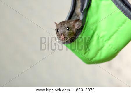 Cute funny rat in hammock on light background