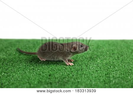 Cute funny rat on artificial lawn against white background
