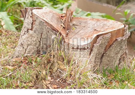 Stump of a recently felled tree protruding above the ground.