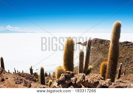 Big Cactus On Island In Salt Flat Salar De Uyuni, Altiplano, Bolivia