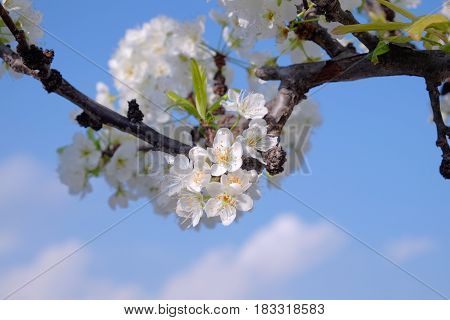 Plum Tree In Full Blossom With Blue Sky And Clouds -1
