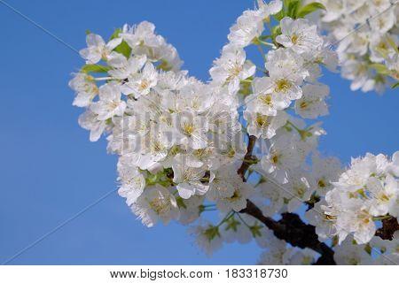 White plum tree in full blossom -1