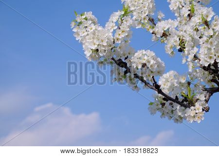 Plum Tree In Full Blossom With Blue Sky And Clouds -2