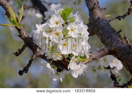 White plum tree in full blossom -2