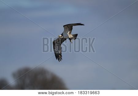 Osprey Flying With A Fish In Its Talons