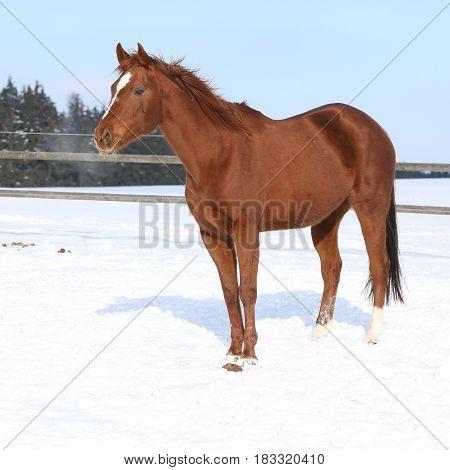 Nice Irish Cob Stallion In Winter