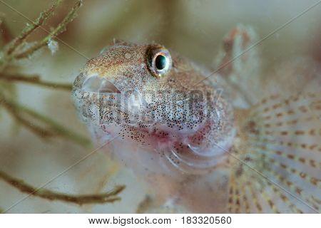Portrait of Round goby Neogobius melanostomus fresh water fish