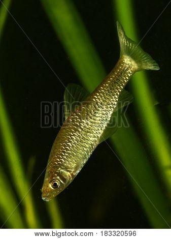 Stone moroko Pseudorasbora parva fresh water fish