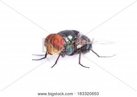 Macro Blue bottle fly on white background.