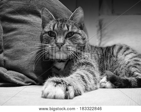 Cat lying on the sofa, black and white
