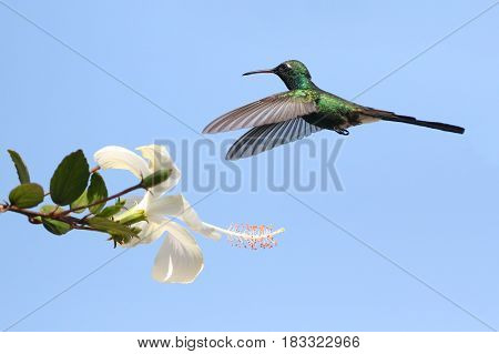 Flying Cuban Emerald Hummingbird Chlorostilbon ricodi feeds on flower