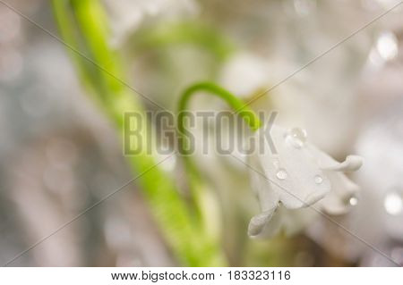 macro photo Spring blooming forest gentle flowers lilies of valley with dew drops on blurred bokeh background of outdoor close-up. Shallow depth of field